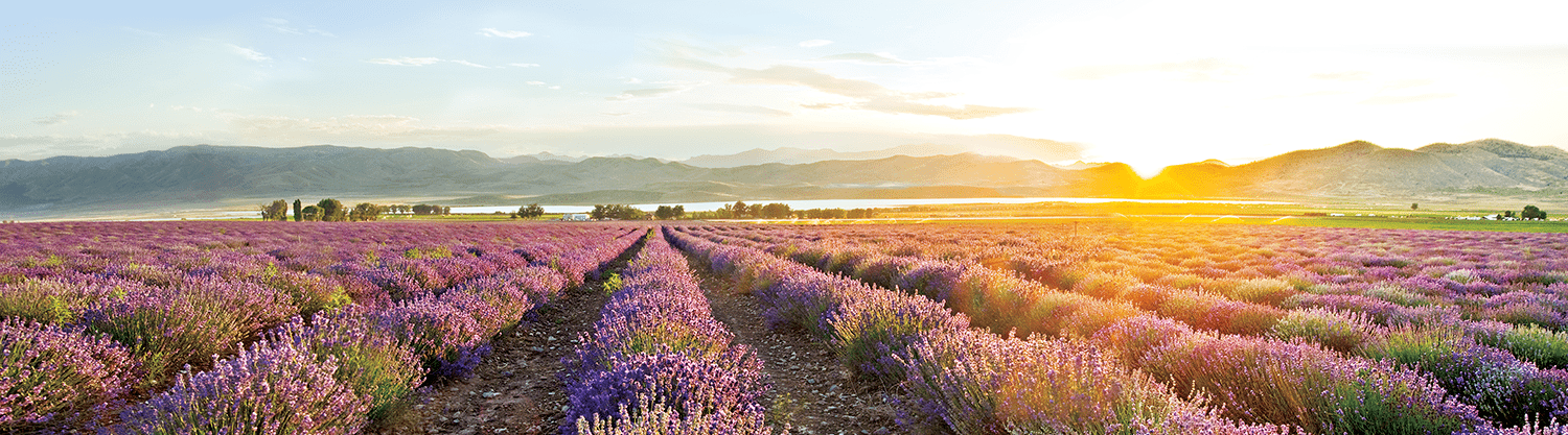 Lavender fields Young living oils
